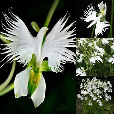 AU9.17 • Buy 50 Japanese Radiata White Egret Orchid Flower Seed Beautiful Viable Bonsai Seed