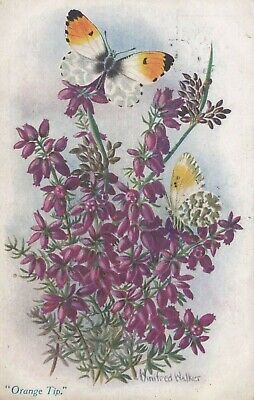 Old Postcard Insect Orange Tip Butterfly Artist Signed Winifred Walker 1920s F4 • 1.99£