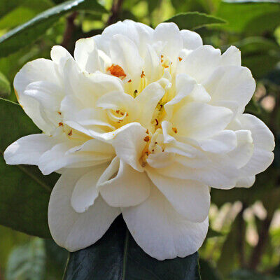 £9.04 • Buy Camellia Japonica Silver Anniversary-Camellia - Rose Of Winter Plant In  3.5 ...