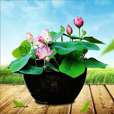 $ CDN1.30 • Buy 10Pcs Lotus Nymphaea Asian Water Lily Pad Flower Pond Seeds Potted Flowers GKFF