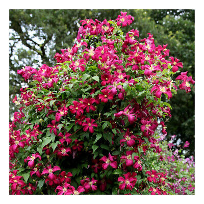 Clematis Viticella Mme. Julia Correvon-Clematis Plant In 4   Pot • 9.09£