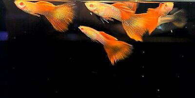 $27 • Buy Live High Quality Guppies | PAIR Red Lace Red Eyes Guppies | LIMITED STOCK