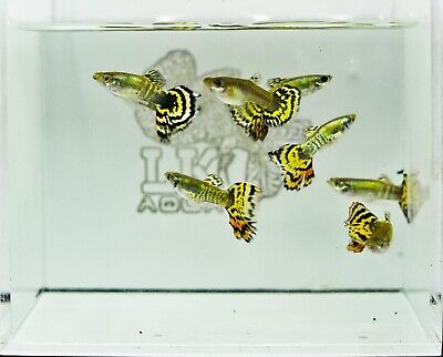 $27 • Buy Live High Quality Guppies | PAIR Tiger Halfmoon Guppies | Limited Stock
