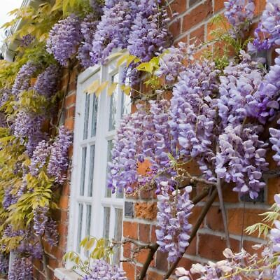 Wisteria Sinensis Prolific Grafted-Chinese Wisteria Plant In 4.25'' Deep Pot • 24.95£