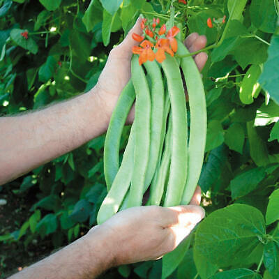 20 Runner Bean ENORMA Seeds - Reliable Variety - Heavy Cropper - Free Postage • 3.15£