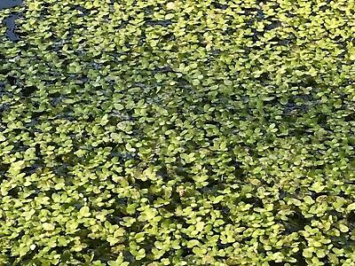 1 Kg Duckweed (minimum Of)- Starter Culture Aquatic Floating Pond Water Plants.. • 7.99£