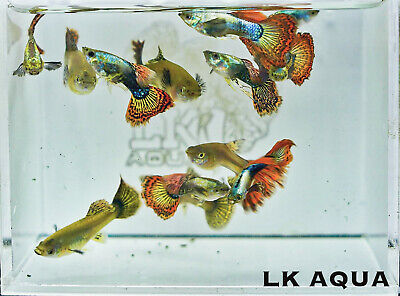 $30 • Buy Live High Quality Guppies | PAIR Red Dragon Guppies | Limited Stock