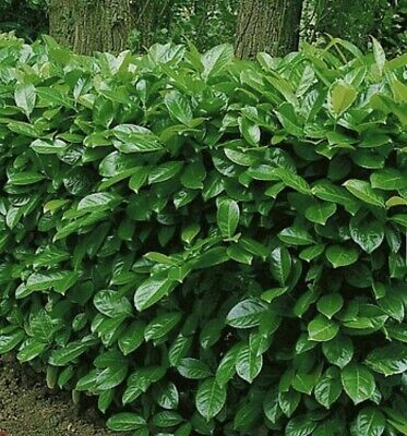 10x Cherry Laurel Hedging/tree Seeds 10 Seeds • 6£