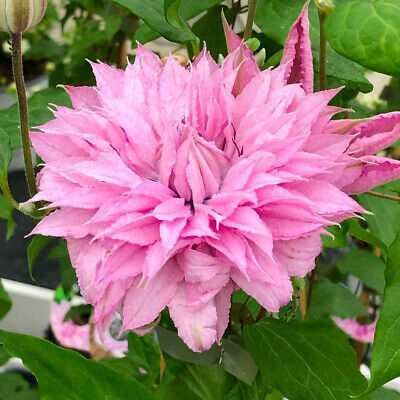 Clematis Multi Pink- Plant In 9 Cm  Pot • 8.52£