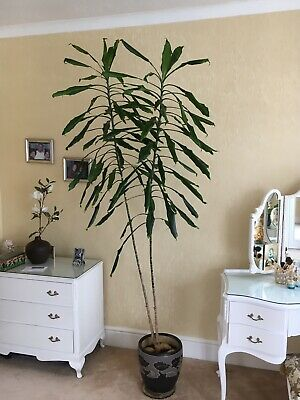 Yucca Indoor Large Plant 7ft 6 Ins. • 65£