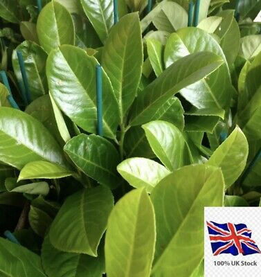 50 X   Cherry Laurel Hedging/tree Seeds 50 Seeds Freshly Harvested To Order • 14.99£
