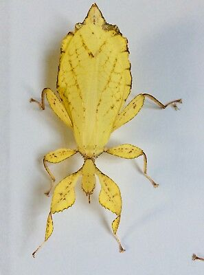 Yellow Phyllium Philippinicum Leaf Stick Insect Eggs X 10 PLUS 1 FREE • 5.50£
