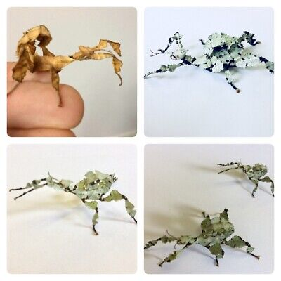 5 X Rare Lichen Macleays Spectre  Stick Insect Eggs MIXED Colours School • 4£