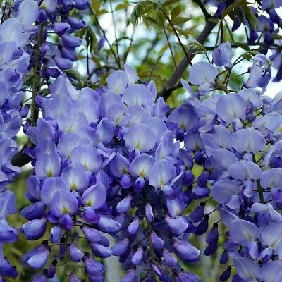 25+ FRESH Seeds Wisteria Sinensis / Blue Chinese Wisteria Tree -Gorgeous Blooms! • 5.99£