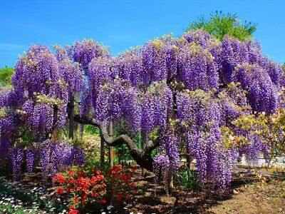 £4.35 • Buy 15+ FRESH Seeds Wisteria Sinensis / Blue Chinese Wisteria Tree -Gorgeous Blooms!
