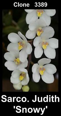 AU30 • Buy OoN Sarcochilus Clone 3389 Judith 'Snowy' Orchid In SPIKE With 2 SPIKEs 80mmP
