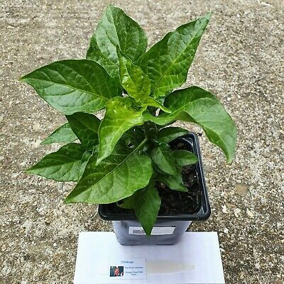 1x Orange Ghost Naga, Large Chilli Plant In A 9cm Pot! Chillikings! Ready Now!!! • 8£