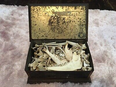 Giant Antique Lifetime Bone Collection Tin Box Taxidermy Oddity Culture Culture • 76£