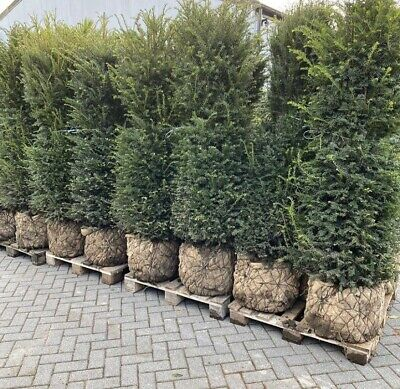 English Yew Tree 6ft /7ft Plus🌲 🇬🇧🌲🇬🇧 Huge 25 Year Old • 285£