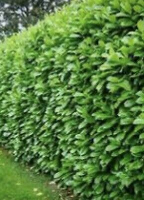 Cherry Laurel Hedging 3ft Plus X 40 Cheapest About Potted UK Grown 🇬🇧 • 399£
