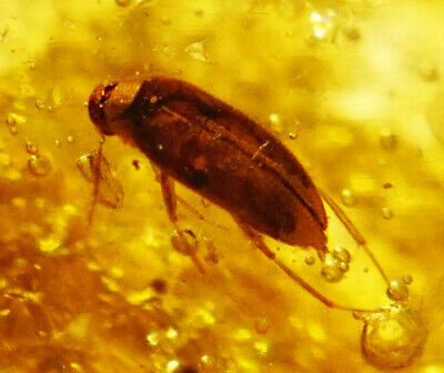 Good Polished Piece Of Fossil Copal Amber - Beetle/cockroach - Insect - 2myo • 11£