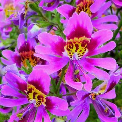 AU2.24 • Buy Schizanthus Wisetonensis - 2500 Seeds - Butterfly Flower / Poor Man's Orchid