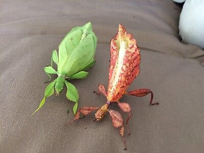 Leaf Insect Eggs! Phyllium Philippinicum, Easy To Care/breed. Stick Insect X 10 • 9.48£