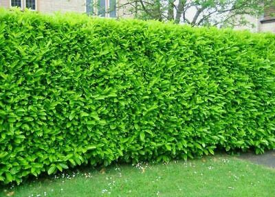 75 Cherry Laurel Evergreen Hedging Plants 25-40cm Potted Not Bare Root Shrubs • 157£