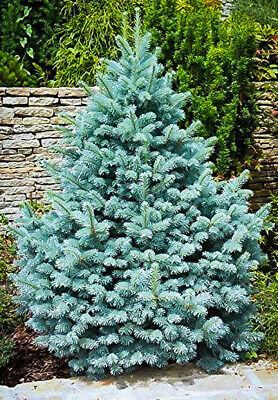 Blue Spruce Pot Grown Christmas Tree Approx 1ft Tall In A 2.5L Pot (Picea Pungen • 10£