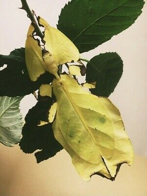5 Eggs - Phyllium Giganteum Yellow/gold Rare (Giant Leaf Stick Insect) • 6£