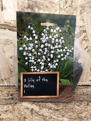 2x - LILY OF THE VALLEY - Fragrant Perennial Plant Bulbs • 3.75£