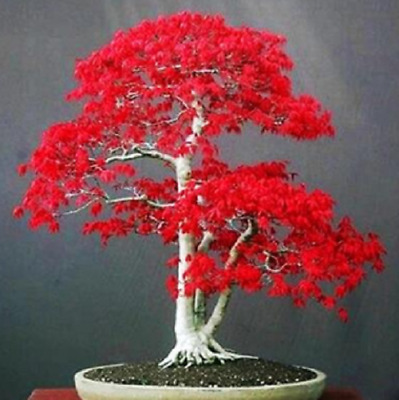 10 Seeds Red Maple Tree Bonsai Very Beautiful Indoor Tree Home - UK Seller • 3.35£