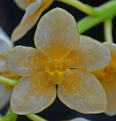 AU30 • Buy OoN Sarcochilus 3641 Amber Yellow Delight X Kulnura Pinup Orchid 100mm Pots FS