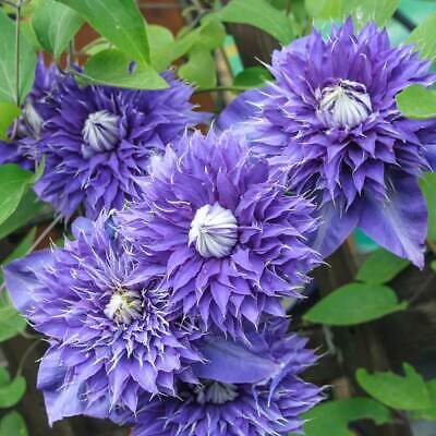 Clematis Multi Blue-Clematis Plant In 15 Cm  Pot • 10.91£