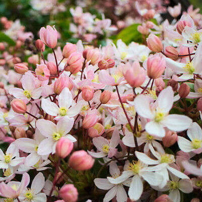 £21.42 • Buy Clematis Armandii Apple Blossom-Clematis Plant In  6   Pot