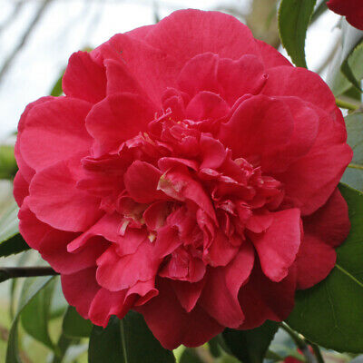 £4.25 • Buy Camellia Japonica Blood Of China -Rose Of Winter Plant In 9 Cm  Pot
