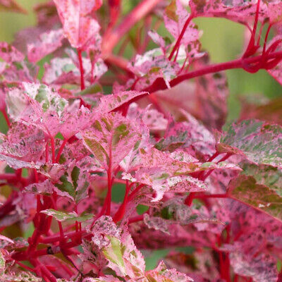 £25.94 • Buy Acer X Conspicuum Red Flamingo-Snake Bark Maple Plant In 3 L Pot