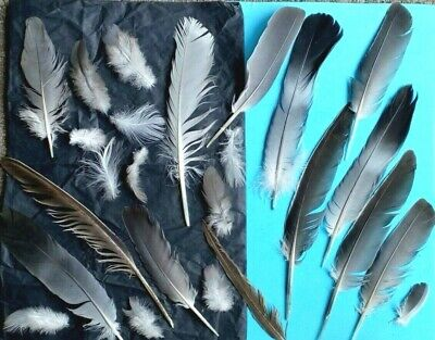 $9.07 • Buy FREE FALLEN Real Feathers X 30 SEAGULL, Magpie, PIGEON, Toys 4 Cats UK FREE P&P