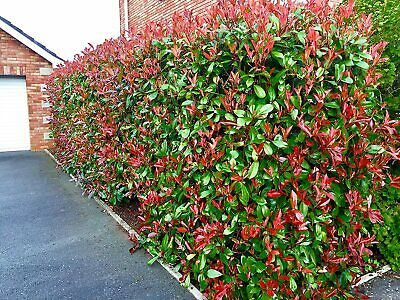 £45.95 • Buy 20 Photinia Red Robin Hedging Plants 15-25cm Evergreen Shrubs Supplied Potted