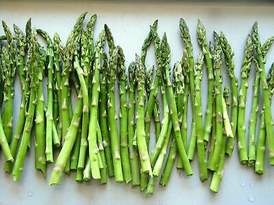£9 • Buy 3 ASPARAGUS PLANTS CONNOVERS COLOSSAL IN 9CM POTS (not Crowns Or Plugs)