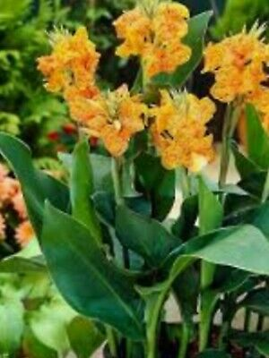 £12.99 • Buy Canna Picasso Lily Plant In 2 L Pot