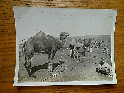 £4.99 • Buy Original WW1 Official Photo Of Camel Transport Corps Pick Of The Camels Egypt