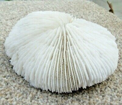 £15 • Buy Natural White Coral Cluster Mushroom Shell 12 X 10 Cm