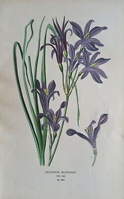 £12 • Buy 1897 Print Siberian Lily (Ixiolirion). Edward Step. 124 Years Old. Asian Flower.