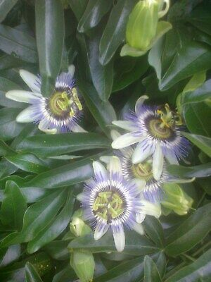£4.99 • Buy Small Established Passion Flower.ready To Plant,hardy Perennial