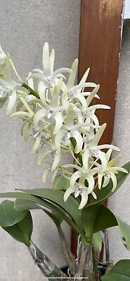 AU120 • Buy Orchid Dendrobium Speciosum  National White  X  Daylight Moon  In Flower