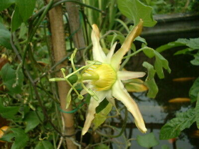 £5.50 • Buy A Young Passion Flower Passiflora Herbertiana Plant (climber/ Vine )