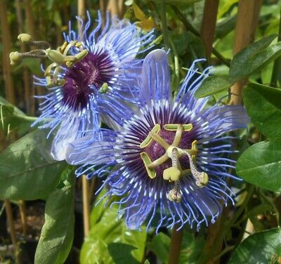 £4.95 • Buy A Young Passion Flower Passiflora Maxima  Plant (climber/ Vine )