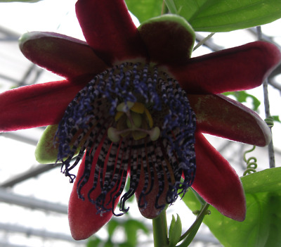 £8.95 • Buy A Young Passion Flower Passiflora Alata Brazil HW Plant (climber/ Vine )
