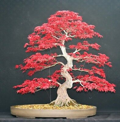Japanese Red Maple Bonsai Tree Seeds, Home Garden Maple Tree, UK Stock  • 1.19£
